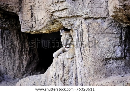 A mountain lion resting in his cave - stock photo