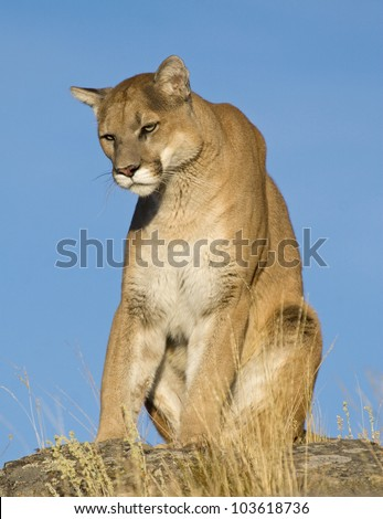 A Mountain Lion Sits on the Top of the Mountain - stock photo