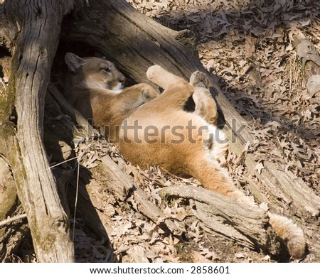 A mountain lion takes an afternoon cat nap in a wooded area - stock photo