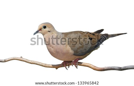 A mourning dove begins to rise off a branch. Full profile of bird, blue green skin around birds eye contrast against its tan and gray feathers. On a white background. - stock photo