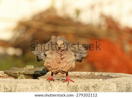 A Mourning Dove shakes off his feathers after bathing in bird bath. - stock photo