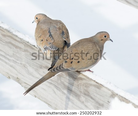 A mourning doves perched on a post. - stock photo