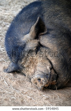 A muddy faced pot bellied pig, relaxed and taking a nap. - stock photo
