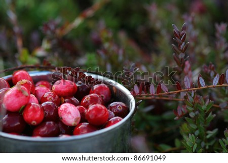 A mug with just picked fresh cranberries. Mug is lying on the ground in a swamp with the complementary greenery visible. - stock photo