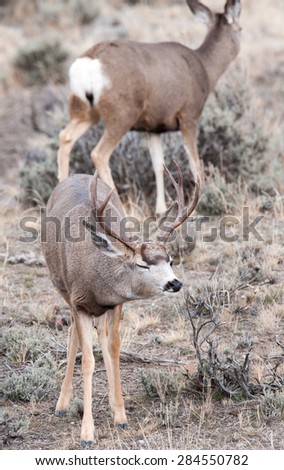 A mule deer buck during rut, appearing to wink; female mule deer in the background - stock photo