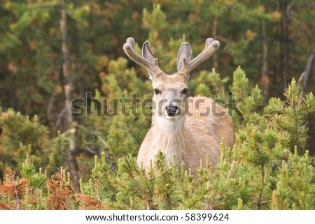 A Mule Deer buck watches from the Lodgepole Pine forest with new, velvet-coated antlers