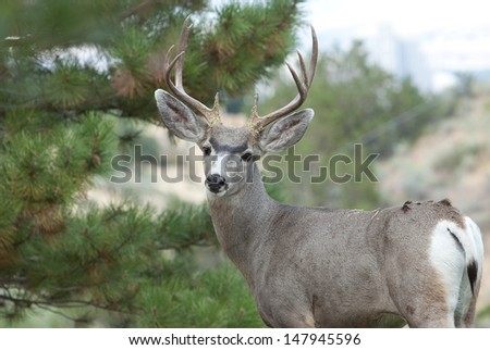 A mule deer in a residential backyard in Reno Nevada.  In many areas deer are considered pests causing damage to crops and landscaping. - stock photo