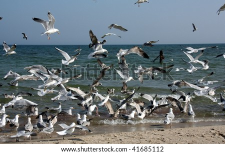 A murder of seagulls, East sea, Germany