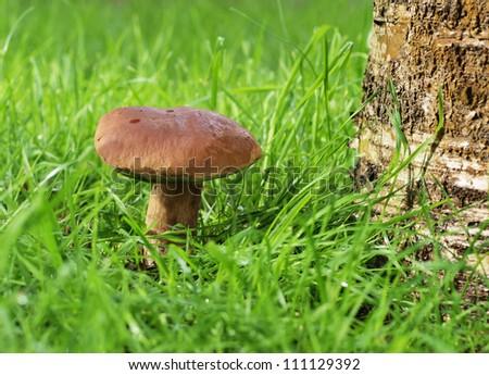 A mushroom under the tree - stock photo