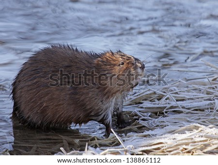 A muskrat (Ondatra zibethicus) sitting on the shore of the Grand River, in Ontario, Canada.