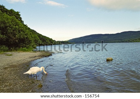 A mute swan (Cygnus orol) at shore - Scotland - stock photo