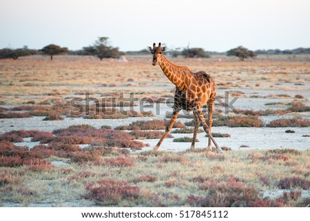 A Namibian giraffe is dominating above savanna and looking into photographer at Etosha National Park
