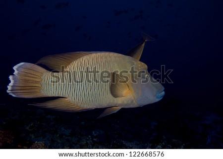 A napoleon fish  in the black background - stock photo