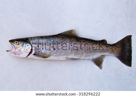"""A native brown trout caught in the Waimana River, New Zealand. (18"""" long and 2.5lbs)  - stock photo"""