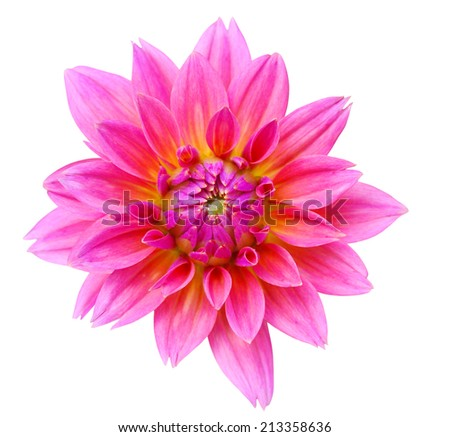 A natural pink dahlia isolated white - stock photo