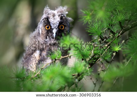 A Natural, Wild Long-eared Owlet (Asio otus) portrait. Sat in pine tree. Taken in the Angus Glens, Scotland, UK. - stock photo