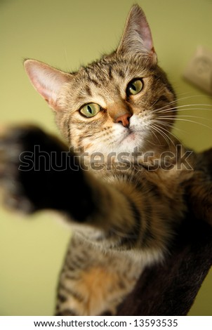 A naughty Bengali special breed kitten. - stock photo