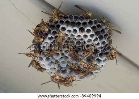 A nest of European hornets, an invasive species to the Americas. - stock photo