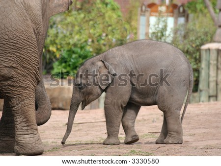 A new born elephant walking towards his mother - stock photo