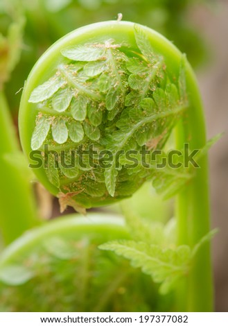 A new fern frond uncurling in the spring