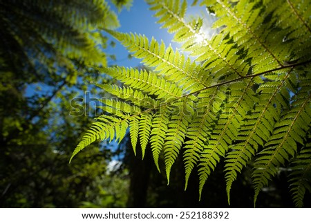 A new zealand fern in a lush forest up close. - stock photo