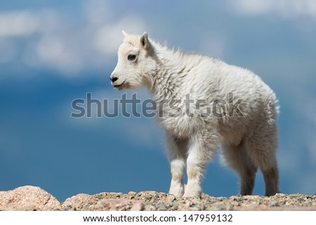 A newborn mountain goat stands on the edge of a rocky cliff at Mt. Evans, Colorado. - stock photo