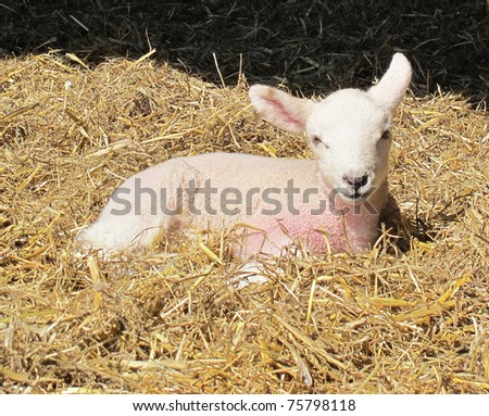 A newly born lamb rests in straw - stock photo