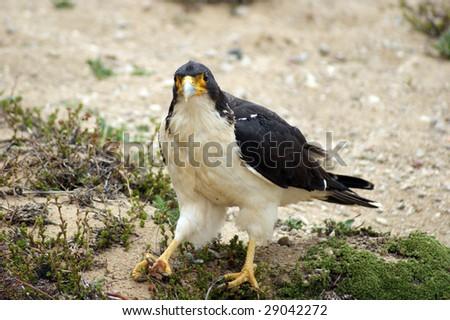A nice white and black bird of prey - stock photo