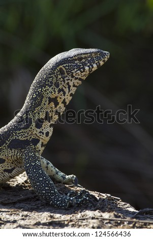 A Nile monitor Lizard sunbathing in South Africa's Kruger Park - stock photo