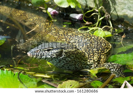 A Nile Monitor Lizard (Varanus niloticus) making its way through a pond choked with lilly pads - stock photo