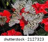 a nomber of white butterflies on a white flowers - stock photo
