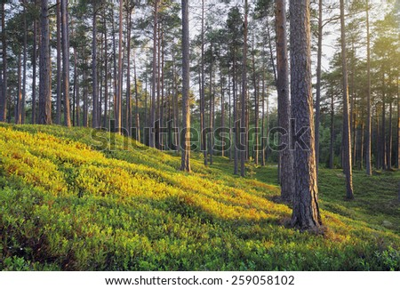 A Nordic Pine Forest in Evening Light - stock photo