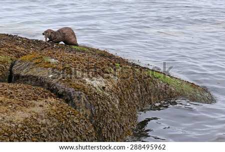 A North American river otter (Lontra canadensis) snacking on an octopus.  Shot on Gabriola Island, British Columbia, Canada.  - stock photo