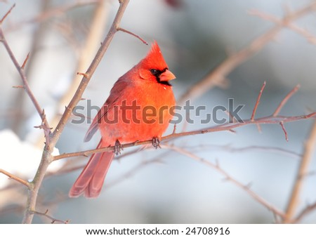 A northern cardinal perched in a tree following a winter storm