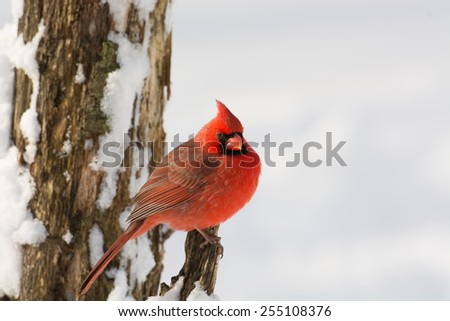 A northern cardinal perched on a branch after a winter snowfall. - stock photo