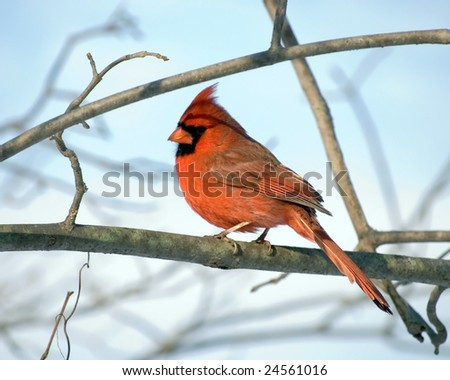 A Northern Cardinal perched on a tree branch.