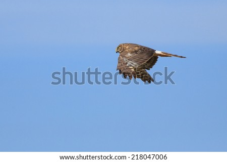 A Northern Harrier Hawk (Circus cyaneus) flies over the Arizona Strip, USA.