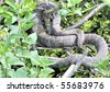 A northern water snake coiled on a tree branch in a marsh. - stock photo