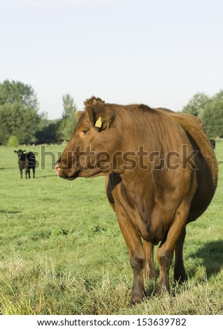A not-so-black-red pedigree Aberdeen Angus heifer on the Somerset levels - stock photo