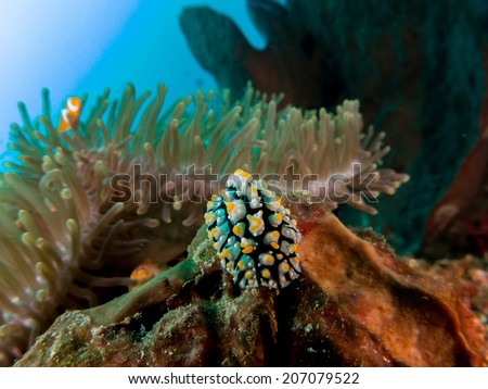A nudibranch (sea slug) and an Anemone fish, nemo behind. Portrait of the fish with anemone coral. Togeans, Indonesia. - stock photo