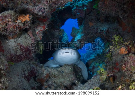 A nurse shark (Ginglymostoma cirratum) lies in a crevice in a Caribbean coral reef near Turneffe Atoll in Belize. This species is generally nocturnal, hunting lobster, crabs, and small fish at night. - stock photo