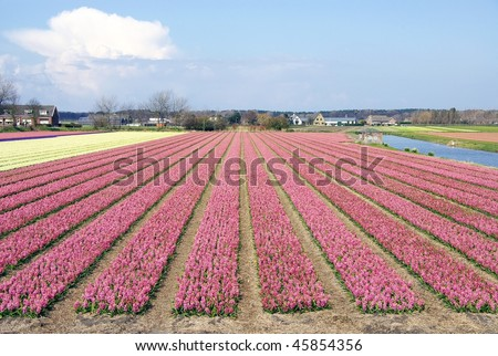 A nursery with hyacinth flowers at a field