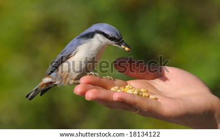a nuthatch in the hand