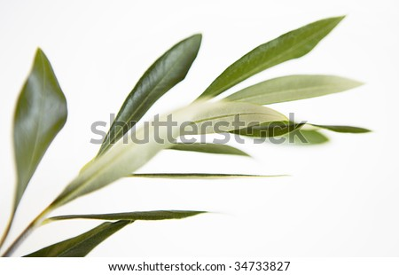 a Olive branch, Olea europaea, herbarium style - stock photo