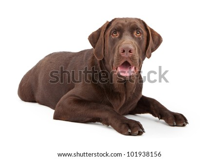 A one year old chocolate color Labrador Retriever dog laying down against a white background