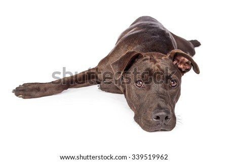 A one year old dark brown color Labrador Retriever and Pit Bull mixed breed dog laying on a white background looking forward - stock photo