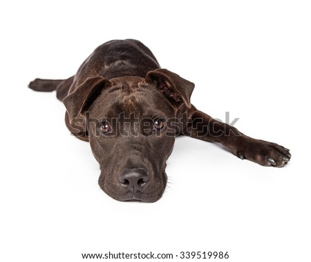 A one year old dark brown color Labrador Retriever and Pit Bull mixed breed dog laying on a white background looking directly into the camera - stock photo