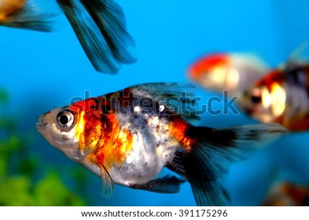 A orange and silver little fish in an aquarium. - stock photo