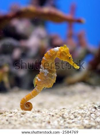 A orange seahorse in a colorful aquarium - stock photo