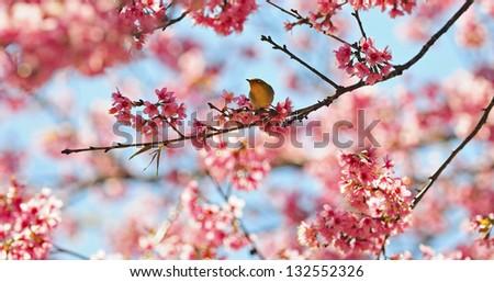 A Oriental White-eye bird, standing on the Wild Himalayan cherry blossom, taken in Thailand - stock photo